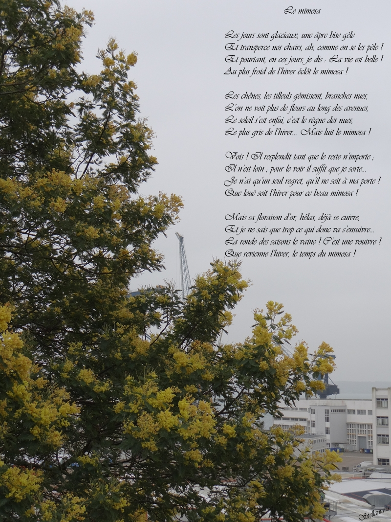 Le mimosa / / Les jours sont glaciaux, une âpre bise gèle / Et transperce nos chairs, ah, comme on se les pèle ! / Et pourtant, en ces jours, je dis : La vie est belle ! / Au plus froid de l'hiver éclôt le mimosa ! / / Les chênes, les tilleuls gémissent, branches nues, / L'on ne voit plus de fleurs au long des avenues, / Le soleil s'est enfui, c'est le règne des nues, / Le plus gris de l'hiver... Mais luit le mimosa ! / / Vois ! Il resplendit tant que le reste n'importe ; / Il n'est loin ; pour le voir il suffit que je sorte... / Je n'ai qu'un seul regret, qu'il ne soit à ma porte ! / Que loué soit l'hiver pour ce beau mimosa ! / / Mais sa floraison d'or, hélas, déjà se cuivre, / Et je ne sais que trop ce qui donc va s'ensuivre... / La ronde des saisons le vainc ! C'est une vouivre ! / Que revienne l'hiver, le temps du mimosa ! / / Stellamaris