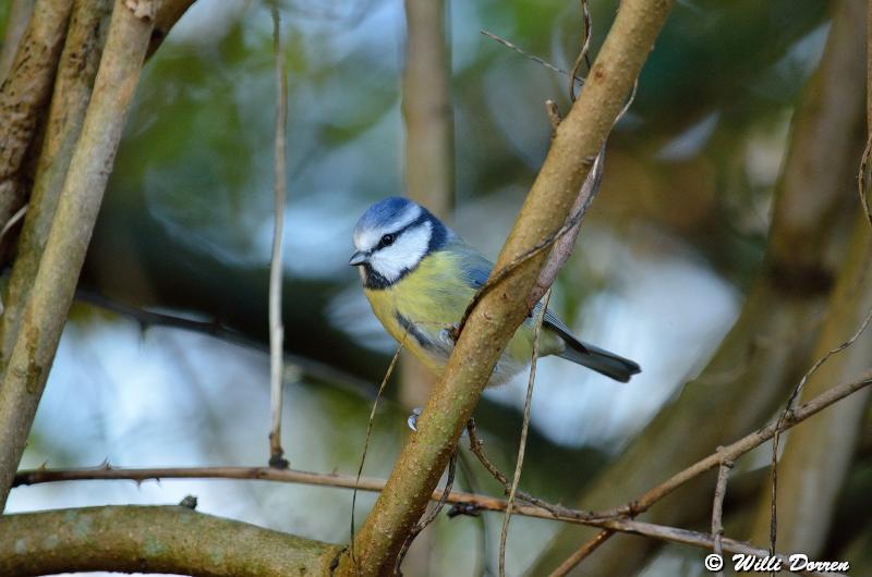 mésange bleue Dpp_-bleue--0001-3d23c10